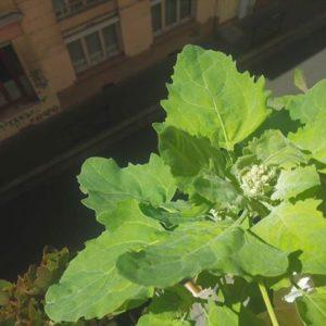 Plantation de Quinoa sur un rebord de fenêtre