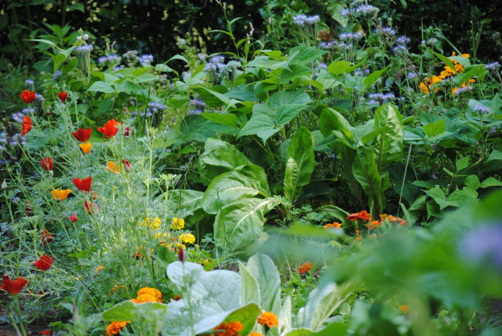 Phacelie bourrache coquelicot sans pesticides au jardin
